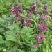 Salvia spathacea or hummingbird sage