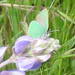A Mission Blue butterfly feeds upon the blossoms of silver lupine on San Bruno Mountain